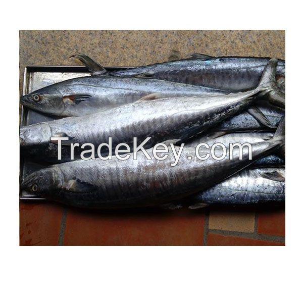 WR 250/350gr Pacific Mackerel Spanish Mackerel