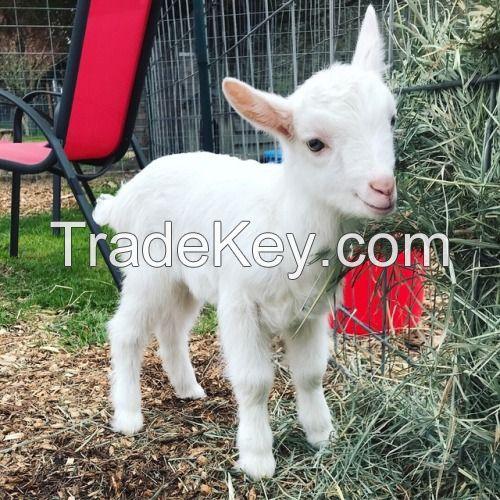 Alive cashmere goats, saanen goats , Kalahari goats for sale