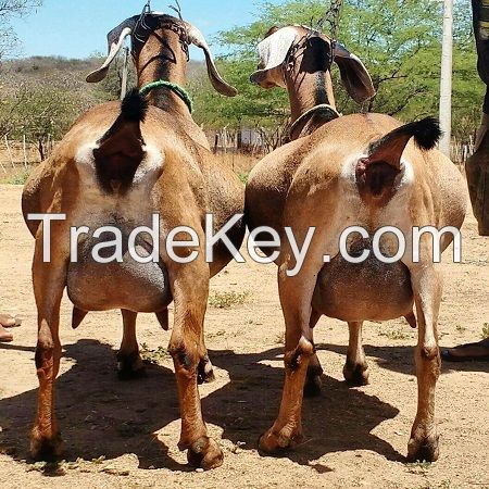 Alive Anglo Nubian Goats / Pregnant Anglo-Nubian Goats ready for sale