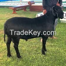 Santa Ines goats for sale in bulk