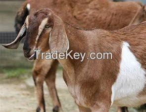 alive alpine goat for sale in bulk