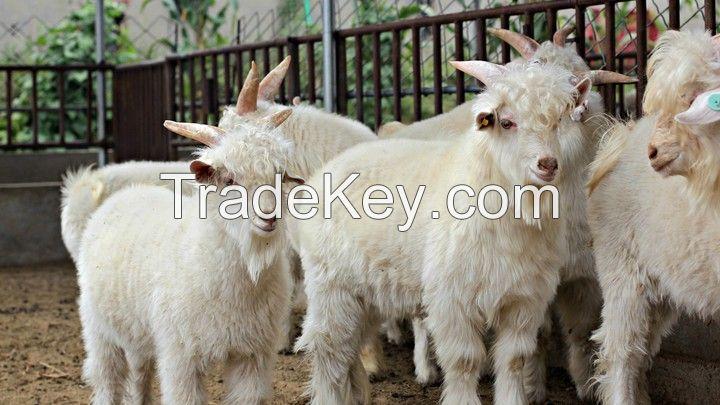 full blood alive cashmere goat
