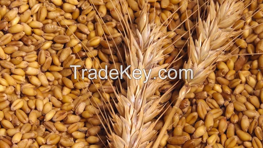 Wheat Seeds for sale