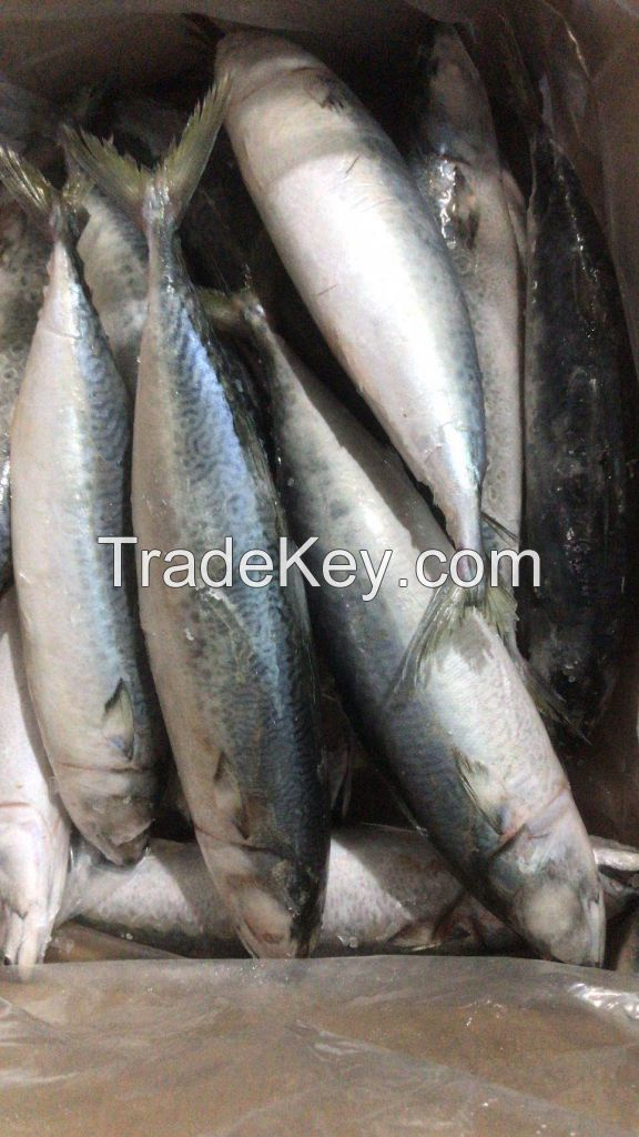 Frozen Mackerel Fish for sale