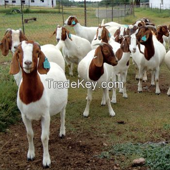 100% Full Blood LIVE Boer Goats Saanen Goats For Sale/ Alive Boer Goat Alpine