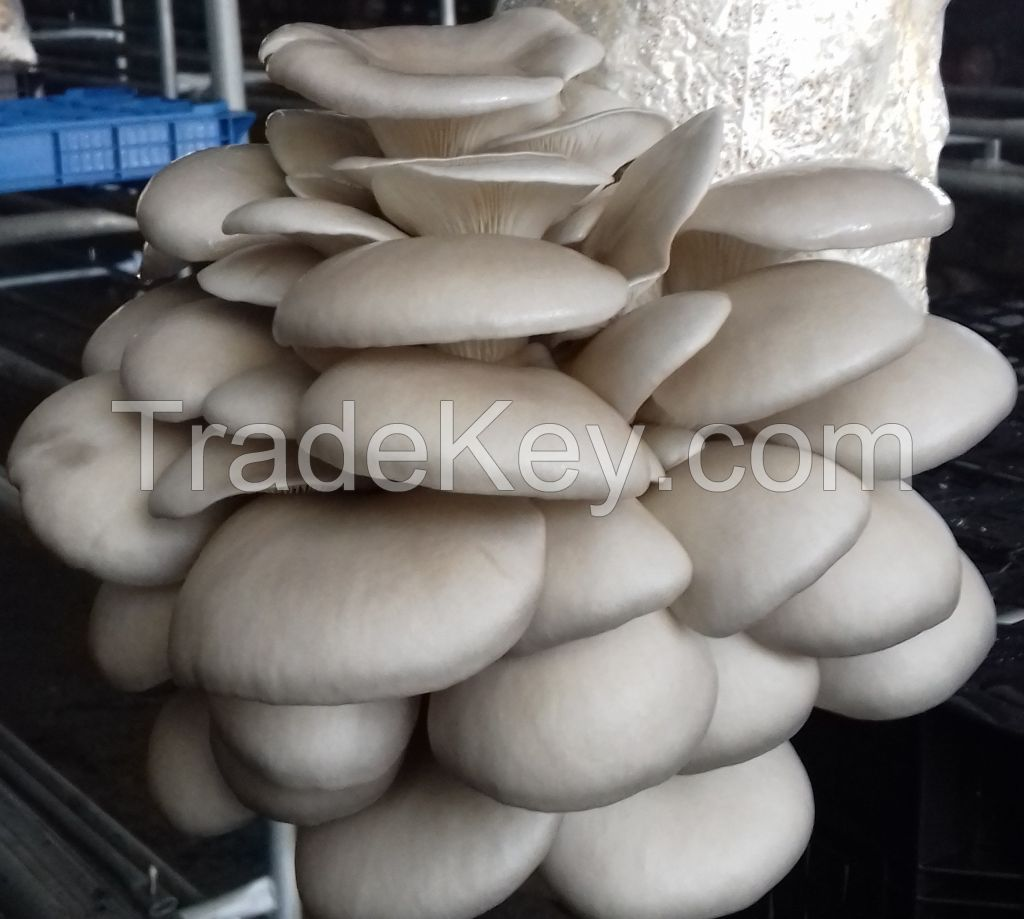 Oyster/Pleurotus Mushrooms