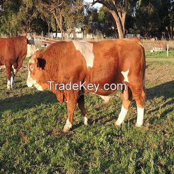 Fattening Beef Bulls/Hereford /Charolais /Limousin /Belgian Blue /Aberdeen Angus