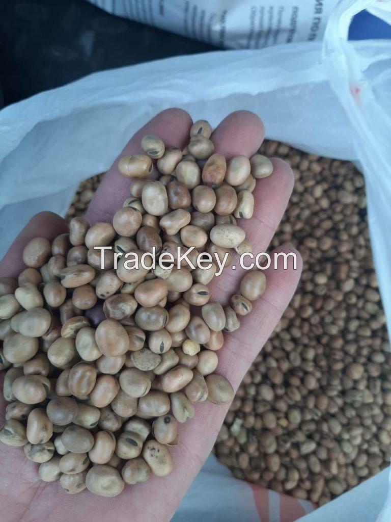 Fava beans Vicia faba