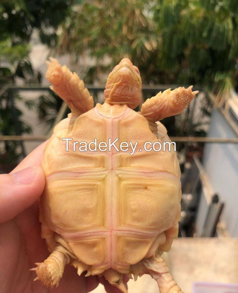 Tortoises for sale online