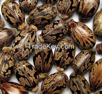 Best High Quality Castor Seeds