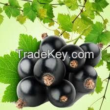 Natural Blackcurrant Nectar 25% fruit part, without preservatives
