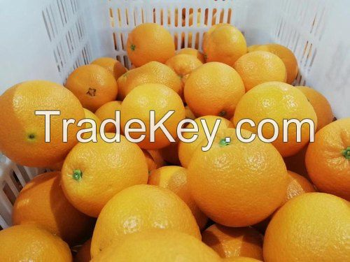 Fresh Valencia Oranges-Fresh Citrus Fruits