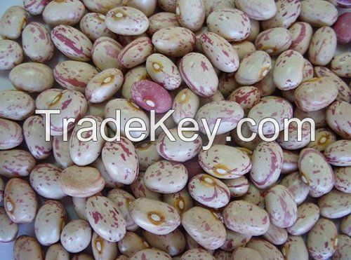 Speckled kidney /pinto beans for sale