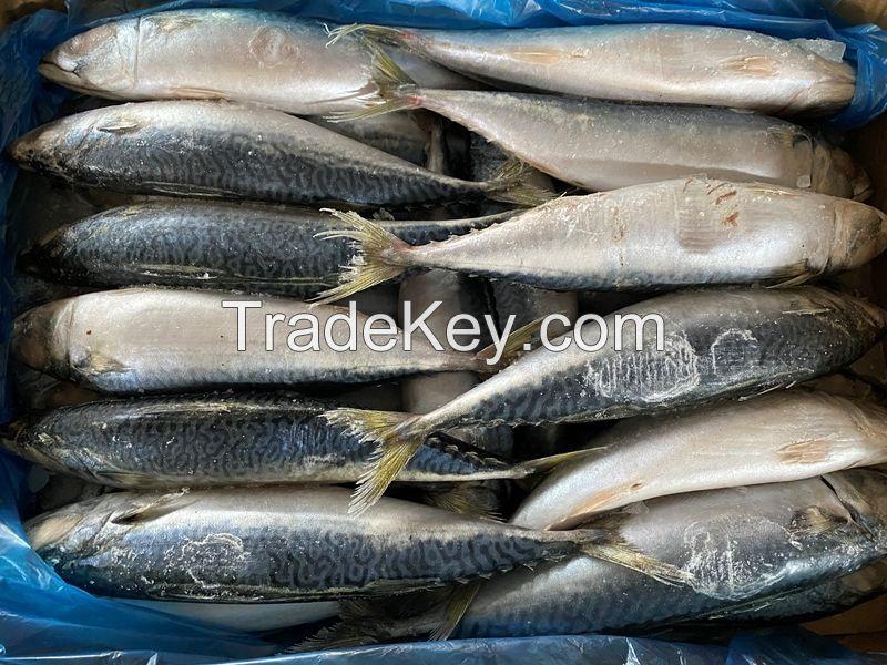 Atlantic Mackerel Scomber Frozen