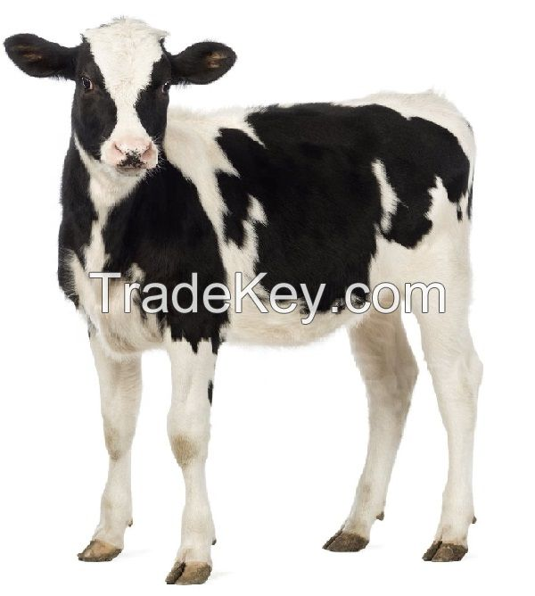 Live healthy friesian holstein heifers Cow/ Pregnant Holstein Heifers cattle for sale worldwide