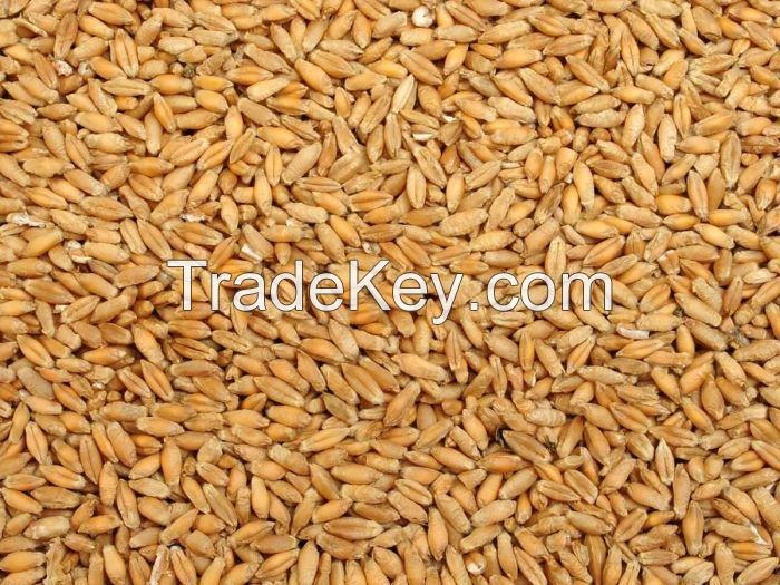TRITICALE SEEDS