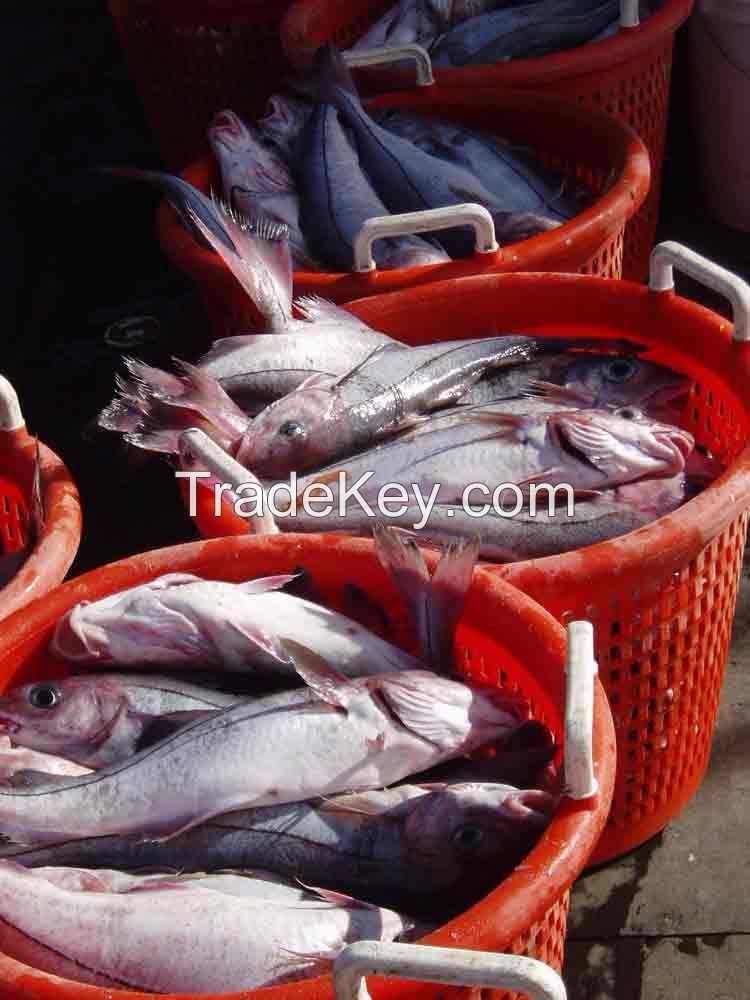 FROZEN HEAD HADDOCK (Melanogrammus aeglefinus)SEA FOOD FISH