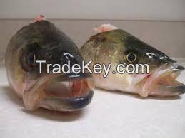 FROZEN HEAD POLLOCK / SAITHE (Pollachius virens) SEA FOOD FISH