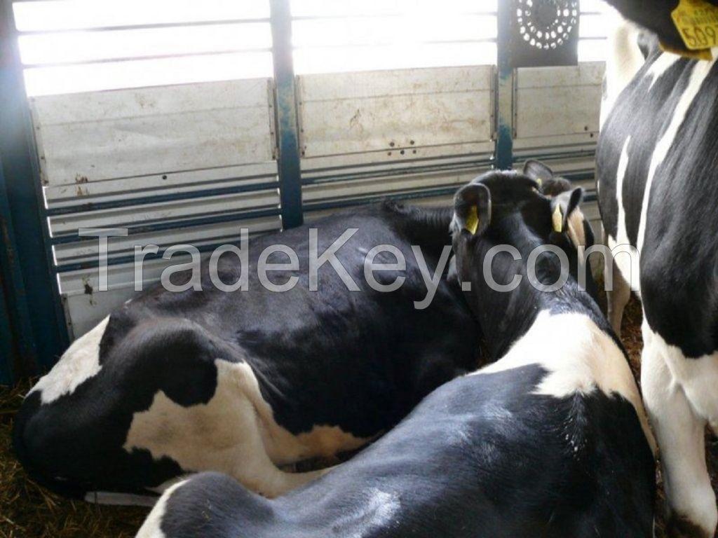 Bulls Simmental Dairy Cattle/Live Pregnant Friesian Holstein Heifers Cow