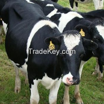 Pregnant Holstein Heifers Cows