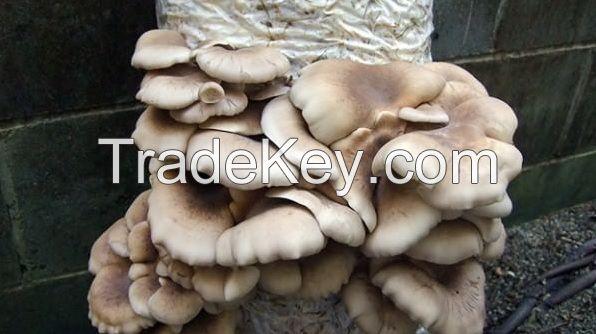 King Mushrooms