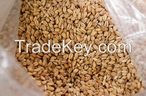 Wheat, Barley, Long Grain Wheat grains For Sale at great rates