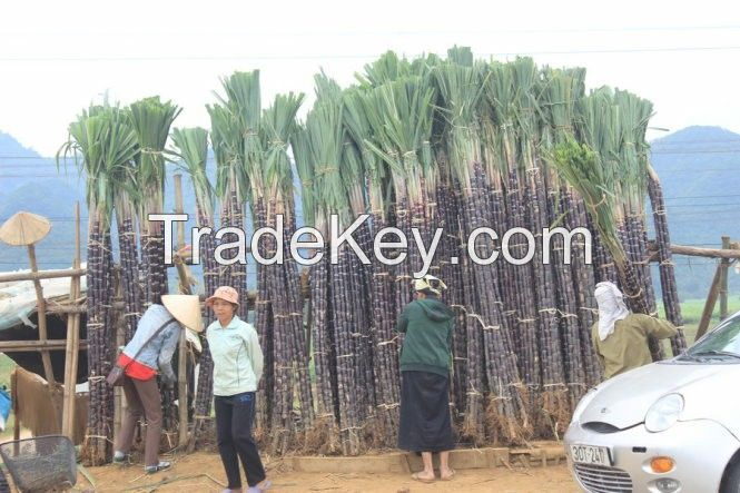 Wholesale Vietnam organic sugarcane high quality and competitive price