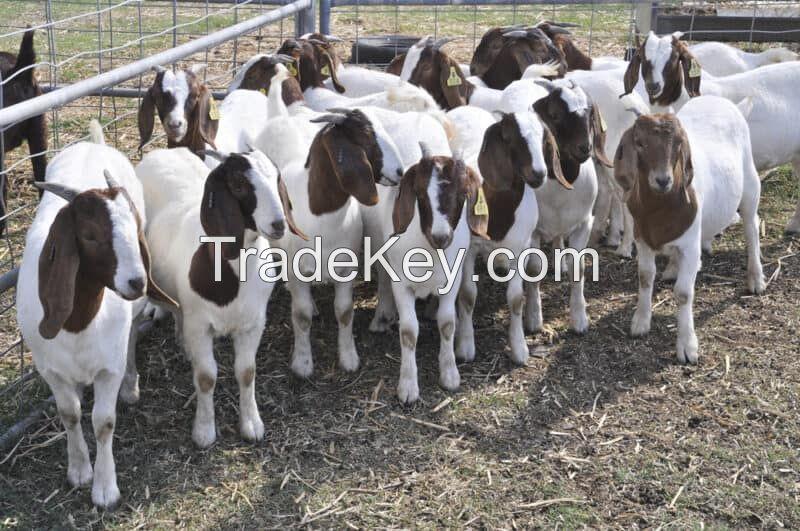 PureBred Boer Goats, Live Sheep, Cattle