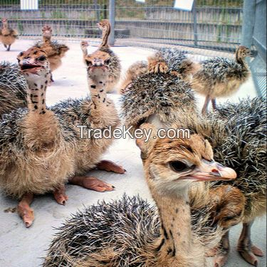 Fertile Ostrich Eggs/Ostrich Chicks/Table