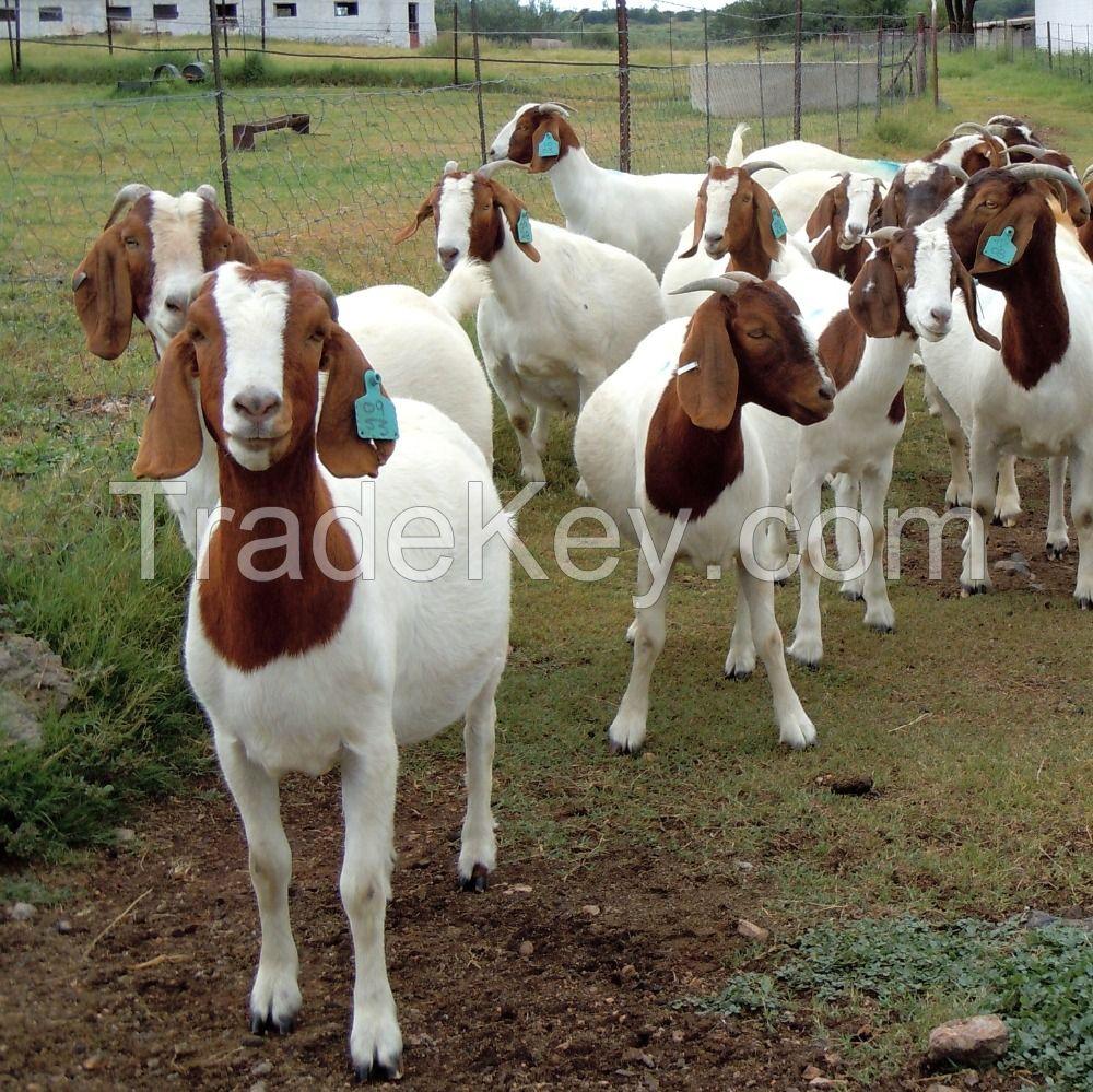 Full Blood Live Boer Goats