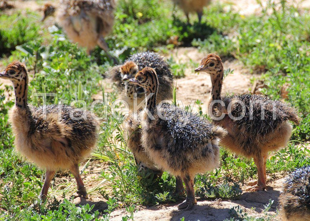 Ostrich Chicks. Live Ostrich Birds, Ostrich