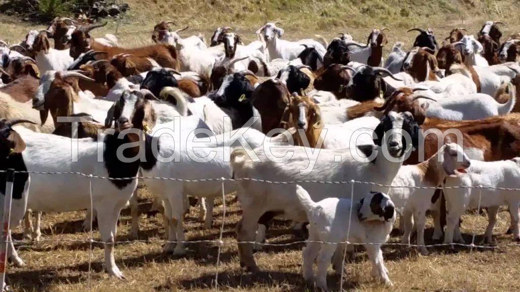 Pureblood 100% Boar Goats