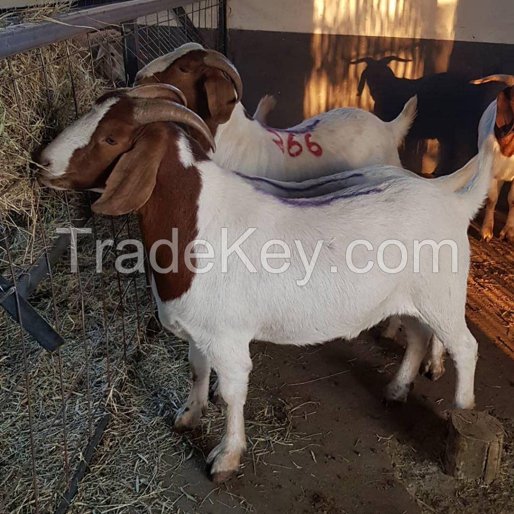 Pure Breed South African Alive Boer Goat , Kalahari Red Goat , Saanen Goat