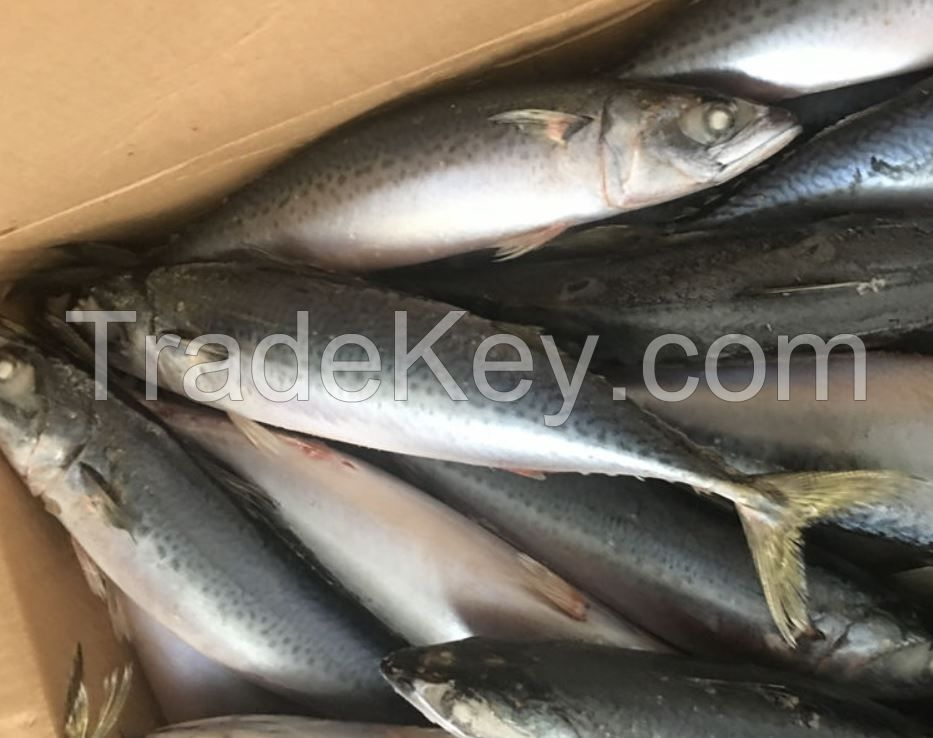 Frozen Mackerel Fish for Sale