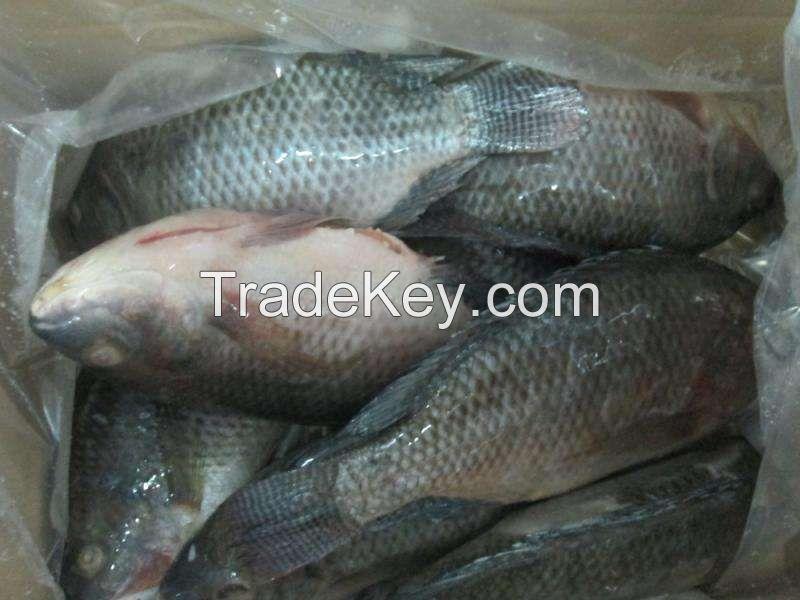 Frozen  Tuna Fish and Frozen Tuna fish Loins