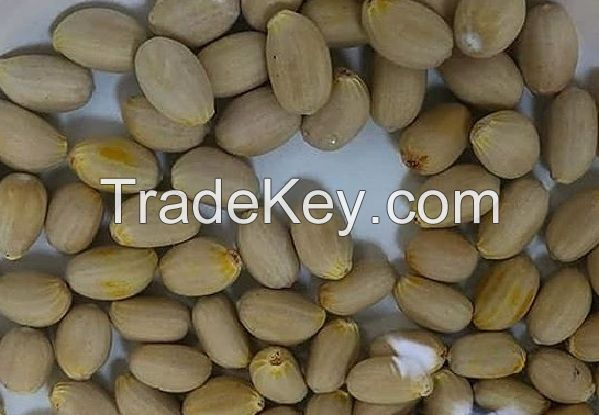 High Quality Cycad, Fresh and healthy Encepalartos Seeds available