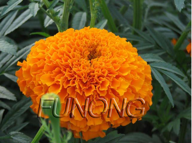 African marigold oleoresin seeds