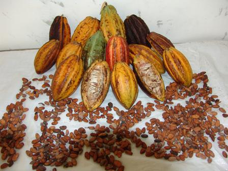 AgroCriso Cacao Beans