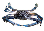 BLUE CRAB MEAT