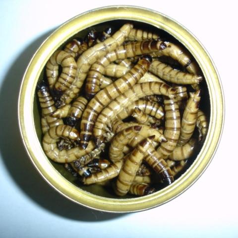 superworm, mealworm