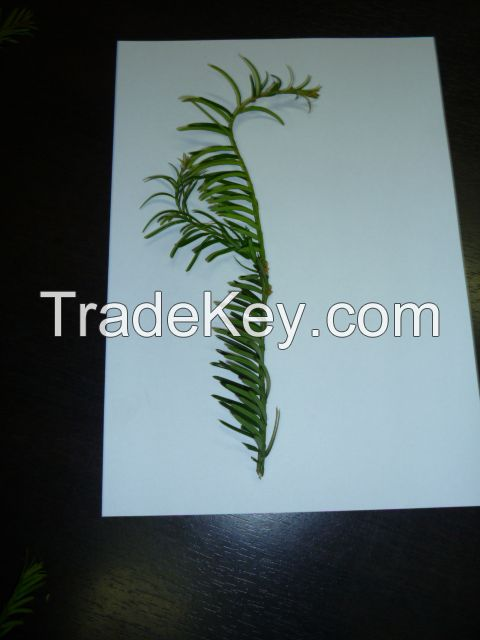 Dried Leaves of Taxus baccata