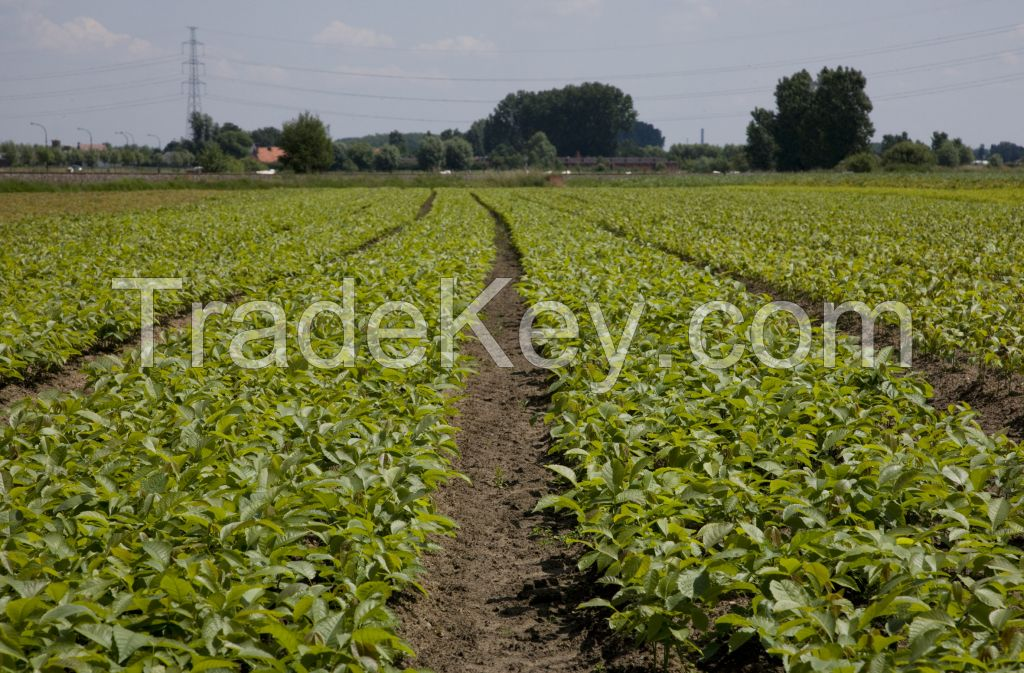 Forest and hedging plants