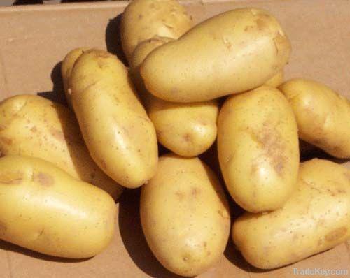 Holland potato on sale