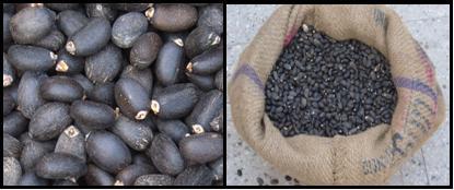 Jatropha curcas seeds