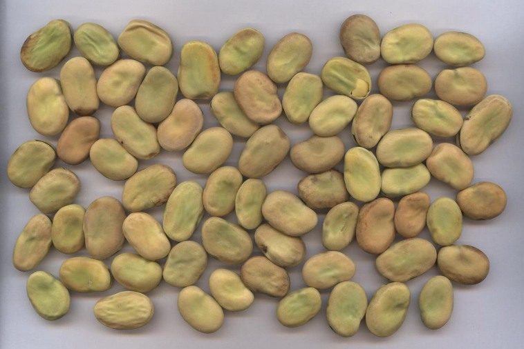 Egyptian Whole Broad Beans