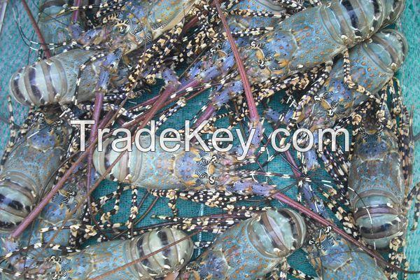 Live Lobster Vietnam Supplier