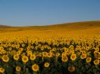 High Oleic Sunflower Oil | Export Refined Sunflower Oil | Pure Sunflower Oil Suppliers | Crude Sunflower Oil Exporters | Refined Sunflower Oil Traders | Raw Sunflower Oil Buyers | Pure Sunflower Oil Wholesalers | Low Price Sunflower Oil | Best Buy Sunflow