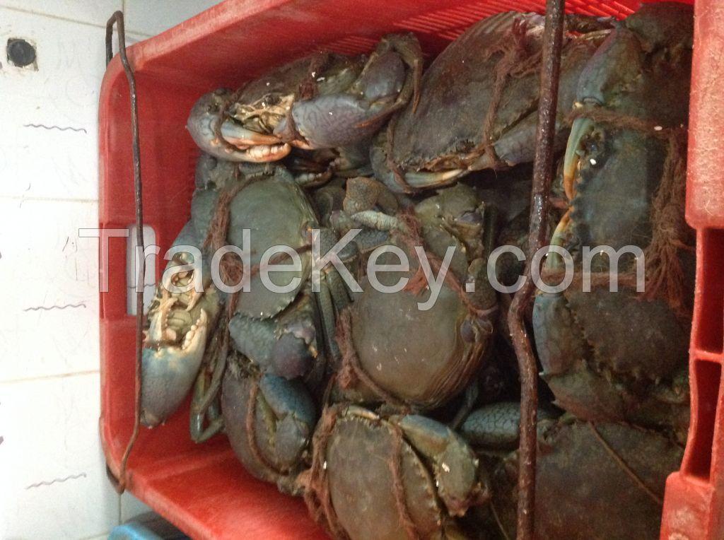 Live Mud Crab - Sri Lanka