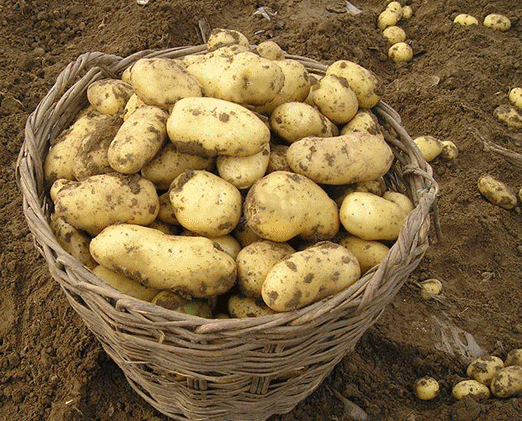 Chinese organic and healthy feature fresh vegetable potatoes with top grade