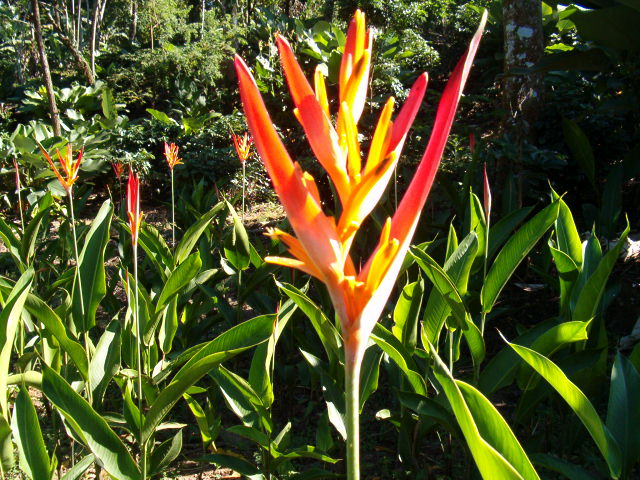 Heliconia Flowers (Tropical Flowers)